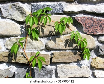 close up creeper plant on the stone wall