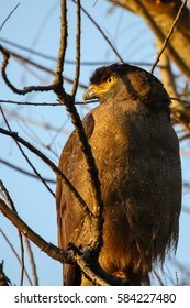 Close up of a Crested Serpent eagle, profile, Bandhavgarh National Park, India