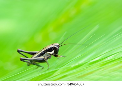 Close up of a cricket among the ears of corn