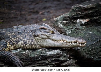 Close up Crocodile on the rocks
