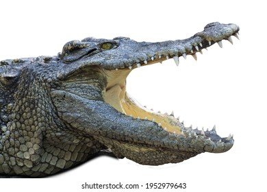 close up crocodile with open mouth isolated white background