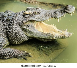 close up crocodile rest by opening mouth to adjust body temperature at zoo Phuket Thailand