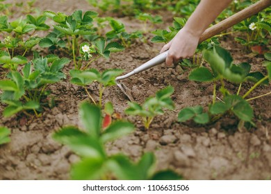 Close up cropped photo of woman hands remove weeds from her green strawberry beds using hoe. Agriculture farming, rural economy, husbandry, agronomy, arable farming, agronomics concept.