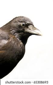 close up of a crow