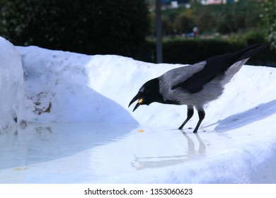 Close up of the crow with her loot in the fountain