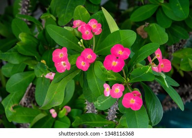 close up of crown of thorns plant with bright pink flowers
