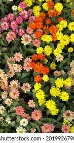 Close up C.sulphureus Cav. or Sulfur Cosmos or Yellow Cosmos flower with bee in the garden