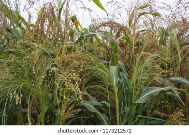 Close up of cultivated sorghum field ready to harvest.