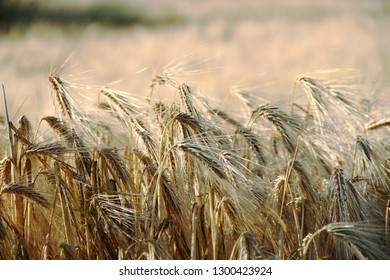 close up of cultivated wheat in a agricultural field in summer