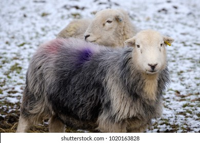 Close up of Cumbrian Herdwick sheep in snow