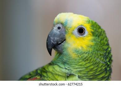 Close up of a curious parrot