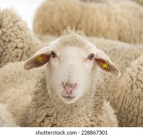 Close up of curious sheep in herd looking at camera