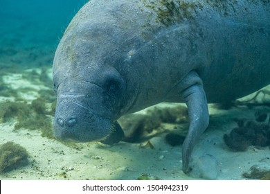 Close up of a curious West Indian Manatee (Trichechus manatus) that approached the underwater camera. Manatees were reclassified as threatened in 2017, as their numbers have increased over the years.