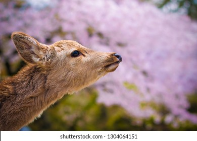 Close up of a curious young wild deer in Nara Park, Japan, during cherry blossom spring season, with sakura tree in bloom, pink bokeh background, no people.   Symbol of Nara, tourist attraction