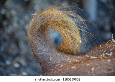 Close up of curly, furry,  pig's tail.