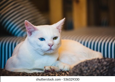 Close up of Cut Siam cat white color with different colored eyes in a Cat Cafe, also called Khao Manee cat