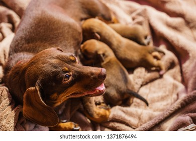 Close up of cute, adorable little dachshund puppies dogs newborns lying next to mother feeding them.