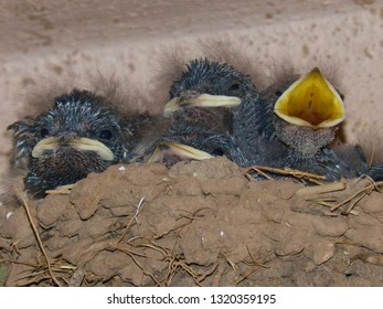 Close up of cute baby swallows in a crowded nest with mouths open for feeding time