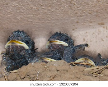 Close up of cute baby swallows in a crowded nest