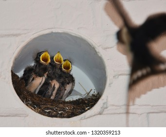 Close up of cute baby swallows in a crowded nest with mouths open for feeding time, swallow flying to the nest to feed the babies