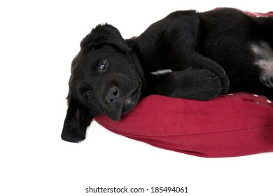 close up of cute black labrador pup