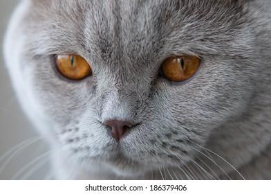 Close up cute british cat