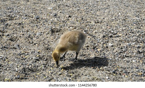 Close up cute Canadian Gosling on the ocean sand.