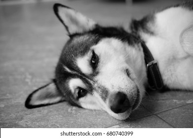 Close up of cute dog with eyes focus, black and white tone, vignette effect.