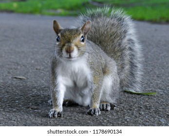 Close up of cute Gray Squirrel sitting in the park on blacktop