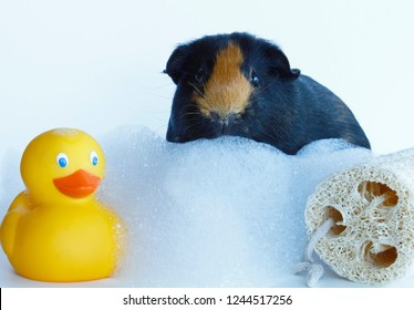 Close up of a cute guinea pig with a rubber ducky and a bath loofah and bubble bath.