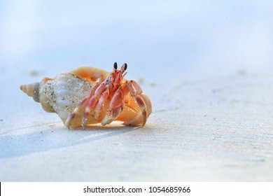Close up of cute hermit crab carry beautiful shell crawling on the white sand beach in warm sunlight of early morning. Hermit crab use empty shell as its mobile safety home