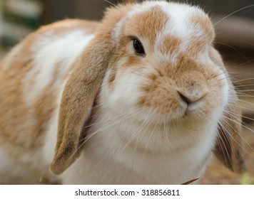 Close up of a cute Holland Lop rabbit.