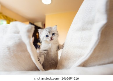 Close up of cute kitten walk and playing on the sofa in home.