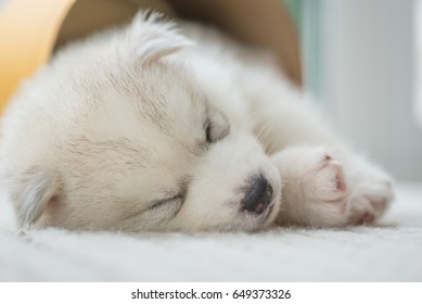 Close up of cute lazy siberian puppy lying and sleep on the floor in the morning