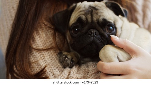 Close up of cute little pug looking sadly into the camera while lying on the woman's hands. Indoor