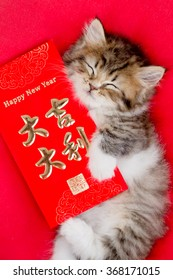 Close up of cute little tabby Asian kitten hugging Chinese New Year red envelope