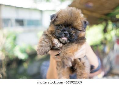 close up cute pomeranian dog in hand
