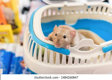 close up of cute pretty nosey pet rat in blue cage