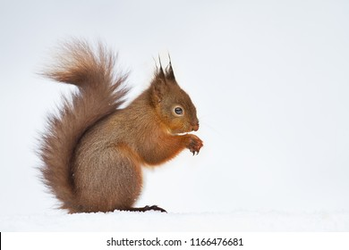 Close up of a cute red squirrel in the snow, winter in England