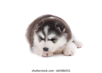 Close up of cute siberian puppy on white background isolated