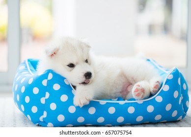 Close up of cute siberian puppy play and lying on the petbed in home.
