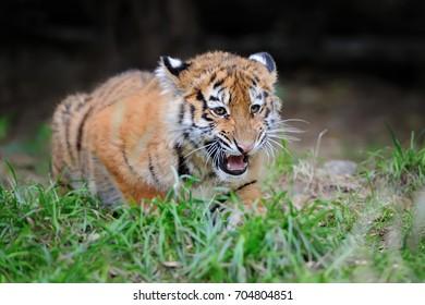 Close cute siberian tiger cub