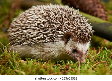 Close up Cute Spiny Hedgehog Mammal Animal on Green Grass. Captured Outdoor.
