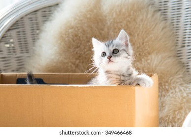 Close up of cute tabby kitten holding paper box in the moring