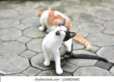 Close up cute white and black Asia cat use the back legs to scratch at head.