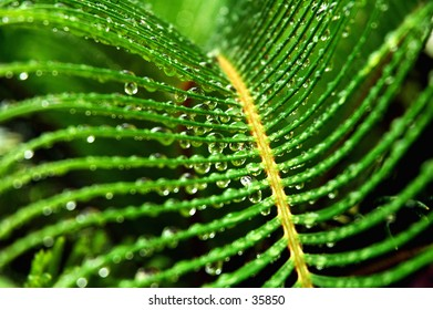 A close up of the Cycas Revoluta, sago palm with rain drops hanging on the leaves