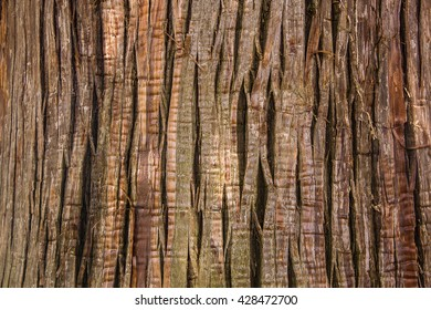 Close Up of cypress (cryptomeria japonica tree) wood