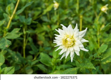Close up Dahlia White Star (semi-cactus dahlia tuber) in garden with natural blurred background.