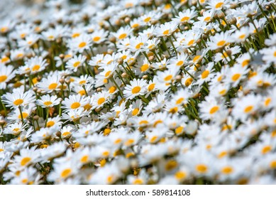 Close up daisies flower