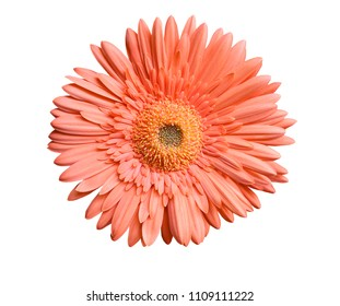 Close up of daisy flower on white background with clipping path